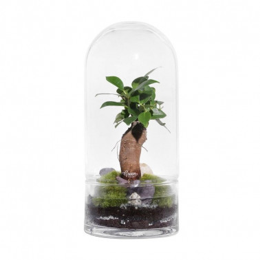 terrarium ficus made in france